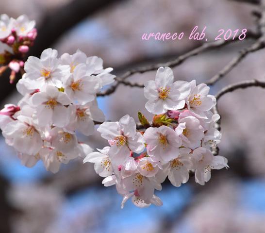 3月27日桜5