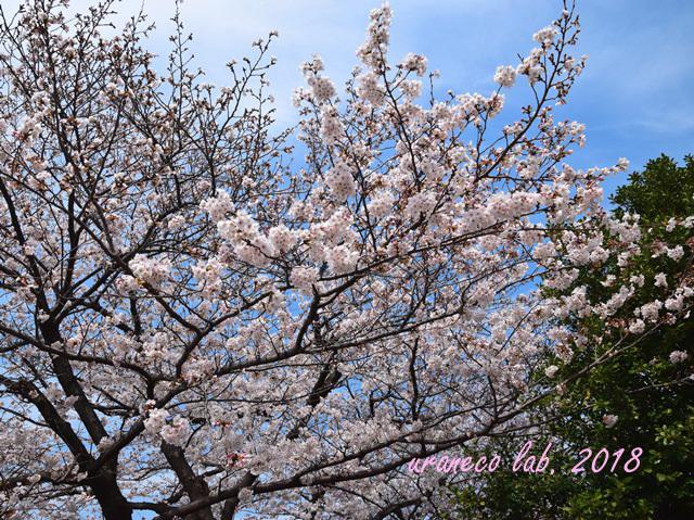 3月27日桜6