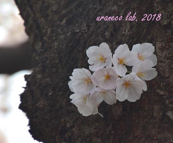 3月27日桜7