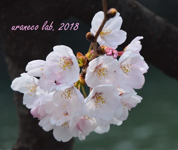 3月27日桜8