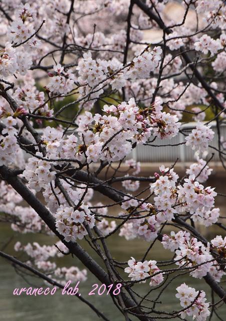 3月27日川べりの桜