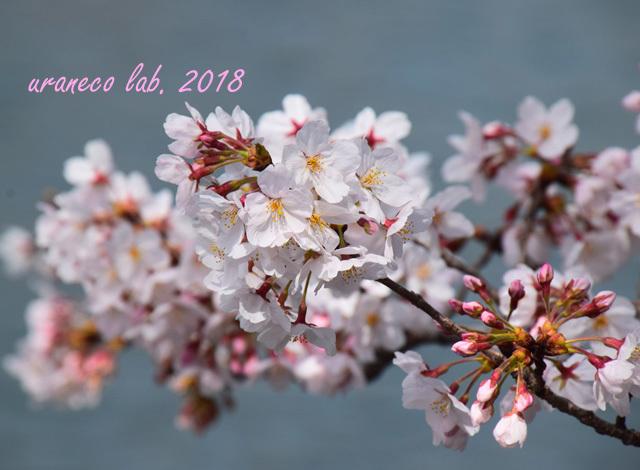 3月27日cherry blossom 2