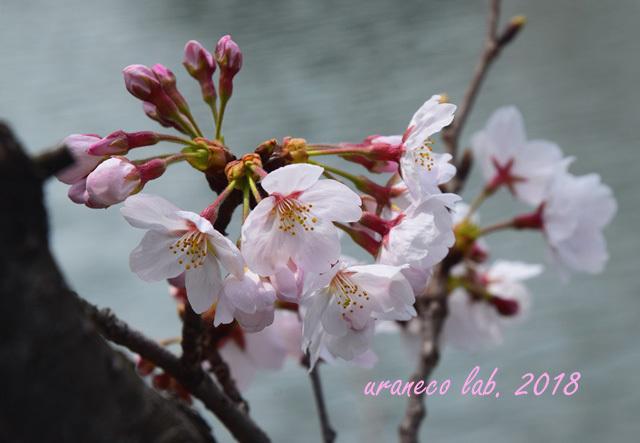 3月27日cherry blossom 3
