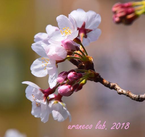 3月27日cherry blossom 6