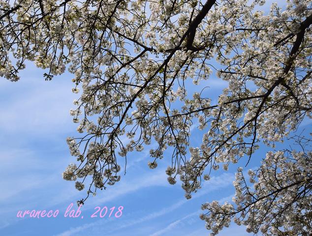 3月27日cherry blossom 9