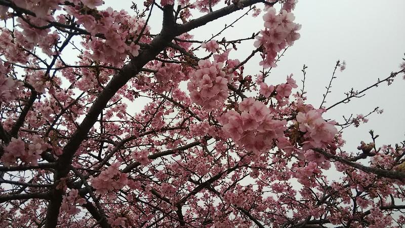 河津桜(アップ2)