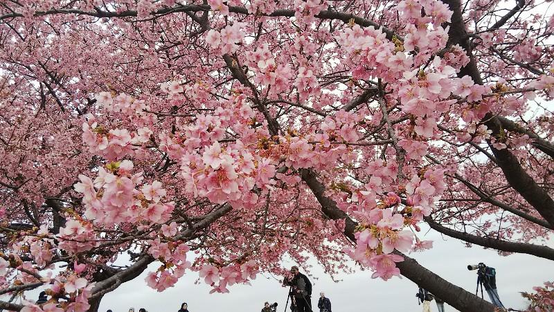 河津桜0311(キレイ)