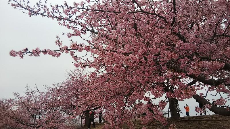 河津桜0311(美しい)