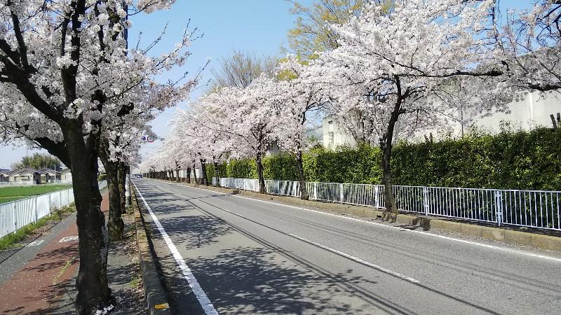 桜並木道1803