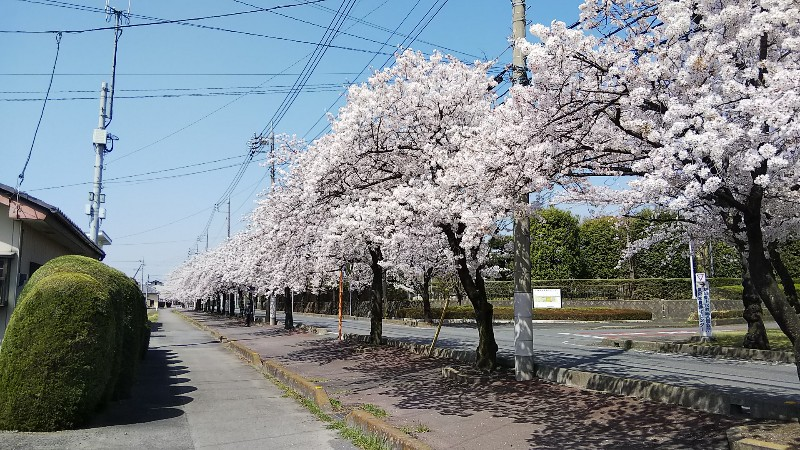 道路沿いの桜①1803