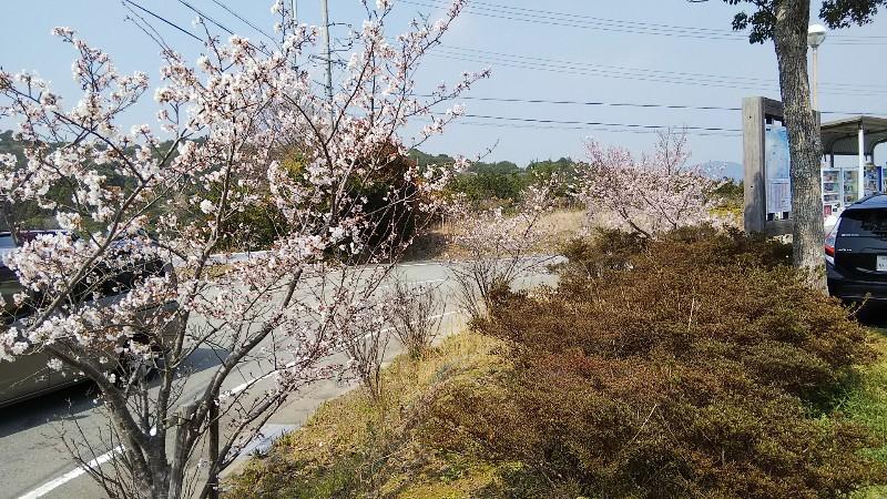 道の駅伊勢志摩桜1803