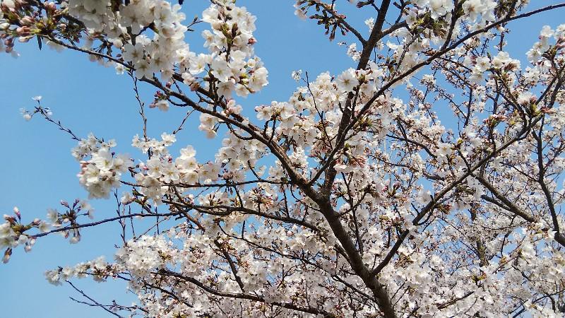 道の駅田原めっくんはうす桜1803