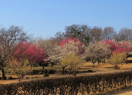 大室公園の梅