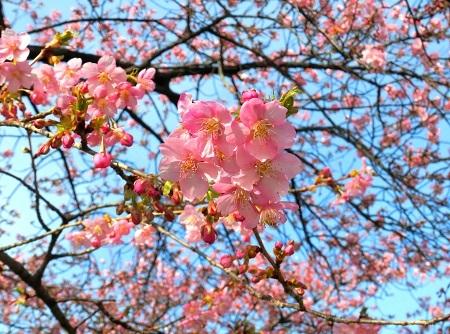 008河津桜