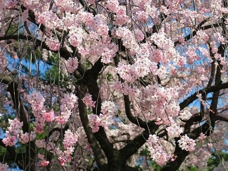 015枝垂桜