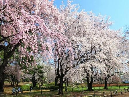 016華やかな枝垂桜