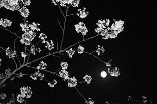 180330_moon_sakura_02w.jpg