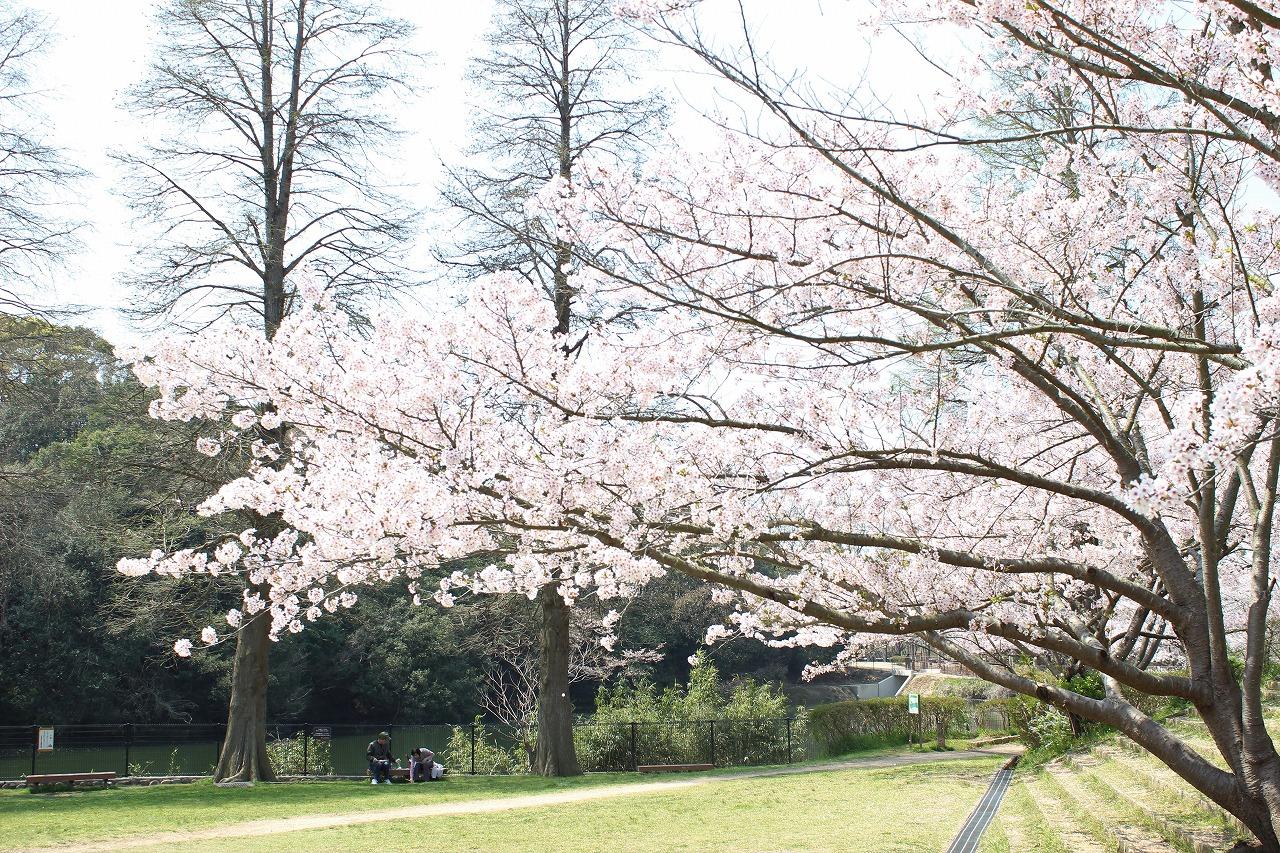 奥須磨公園 桜