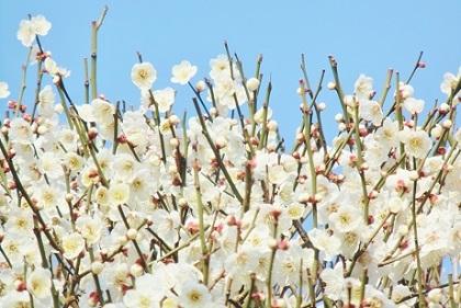 香取神社の白梅です