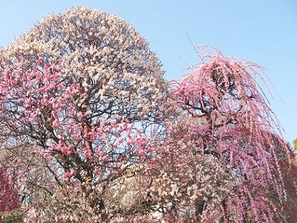 香取神社の梅達です