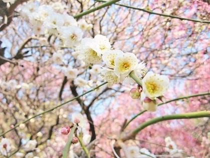 美しい梅の饗宴です
