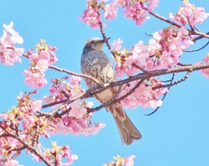 河津桜とヒヨドリさんです