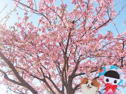 江戸川の河津桜5