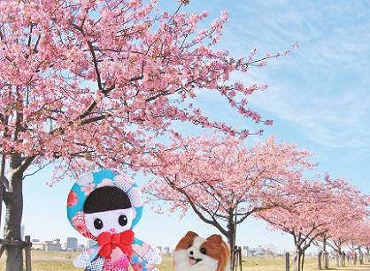江戸川の河津桜3
