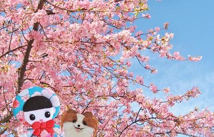 江戸川の河津桜4
