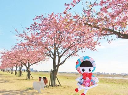 江戸川の河津桜2