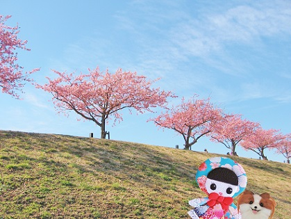 江戸川の河津桜です1