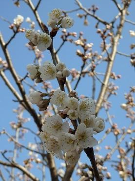 314桜開花