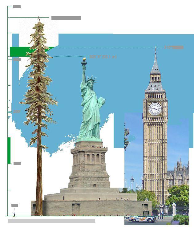 自由の女神より高い木があるって本当?-高さ115.55メートルのハイペリオン
