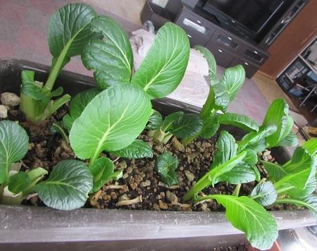 育つ小松菜