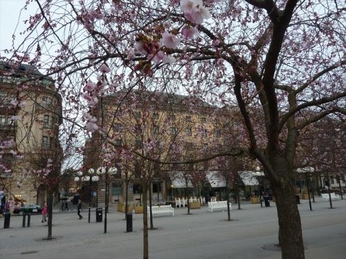 スウェーデンホーム ストックホルムの桜