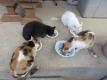 朝ご飯中の猫たち