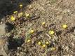 サンシュユがいっぱい咲いていた