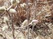 シデコブシの花芽