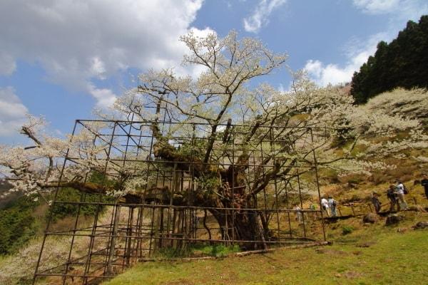 樽見の大桜1
