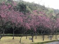 桜180217