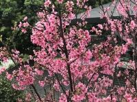 桜180315