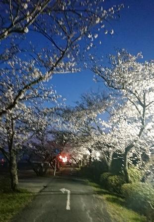 都田川桜並木 その1