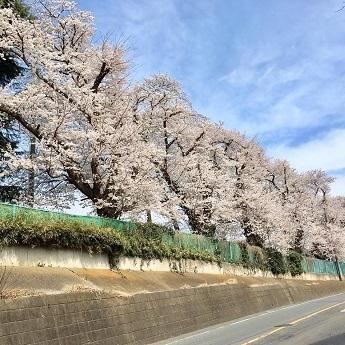 2018-3-29桜
