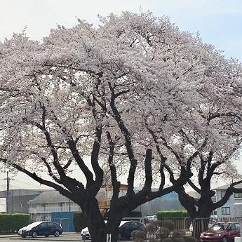 2018-3-29桜2