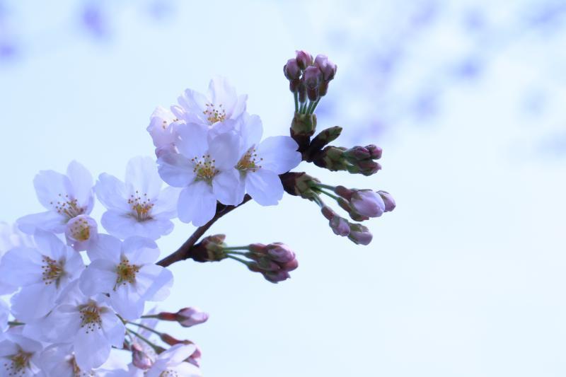 2018桜