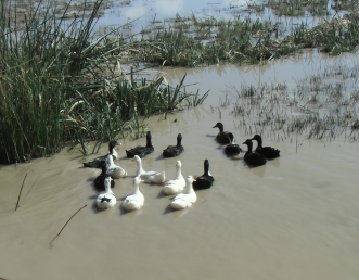 マダガスカルの合鴨放置栽培