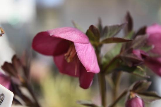 カップ咲き_4366 (45)