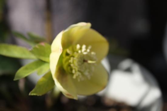 カップ咲き_4366 (46)