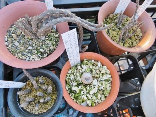 プテロカクタス・黒竜(こくりゅう)(Pterocactus tuberosus)冬の寒さに当てたら花芽ができるでしょうか♪2017.01.15