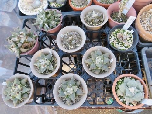アリオカルプス・岩牡丹(Ariocarpus retusus)美白花~キリン団扇の接ぎ下し株、冬の様子♪2018.01.13